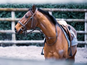 American Paint Horse Breed Information