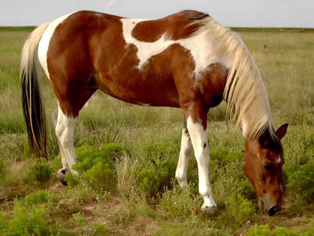 american paint horse 2