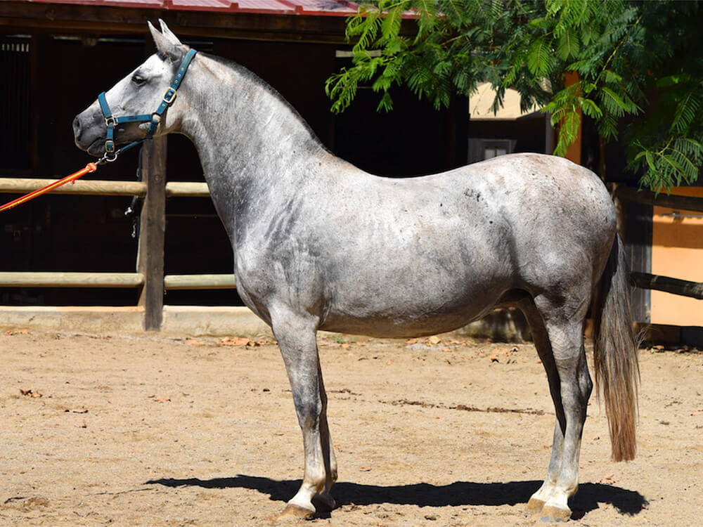 Andalusian Horse 5