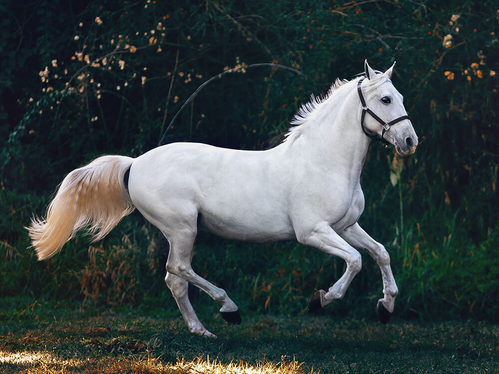 Andalusian Horse Breed Information