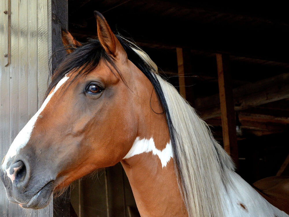 Andalusian Horse 3