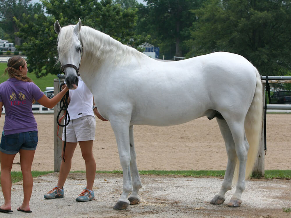 Andalusian Horse 6