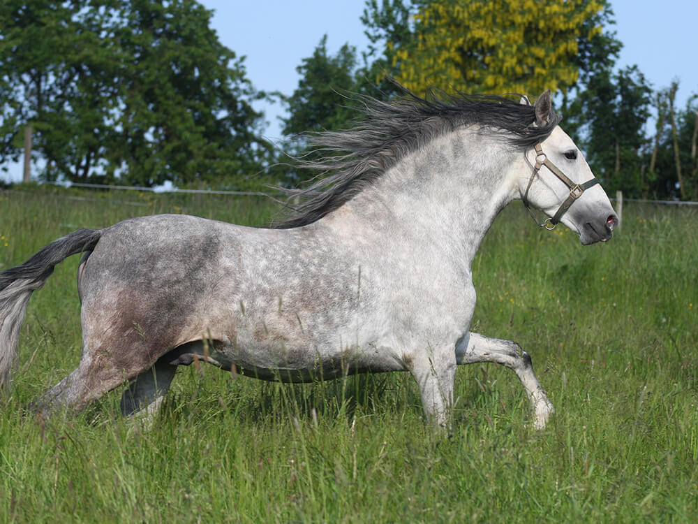 Andalusian Horse 1