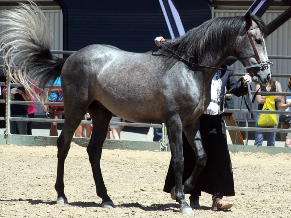 Andalusian Horse 7