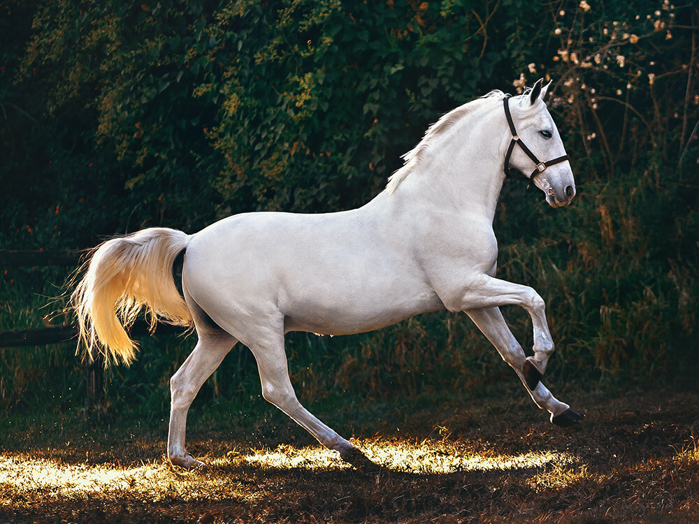 Andalusian Horse 2
