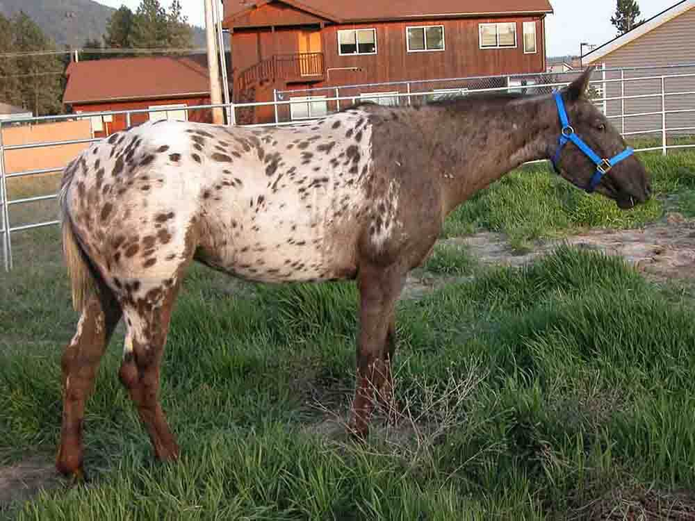 Appaloosa Horse 1