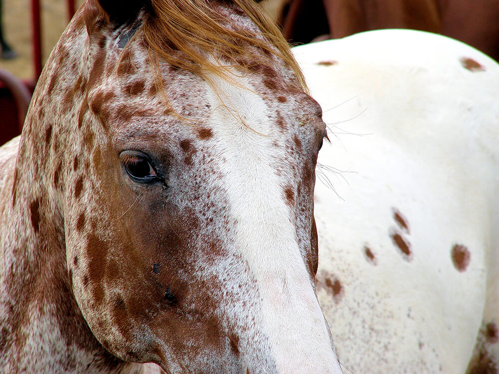 Appaloosa Horse Breed Information