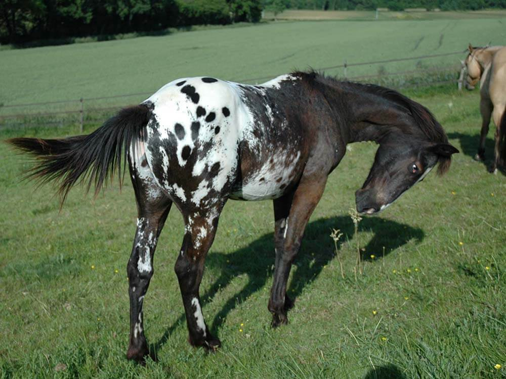 Appaloosa Horse 14