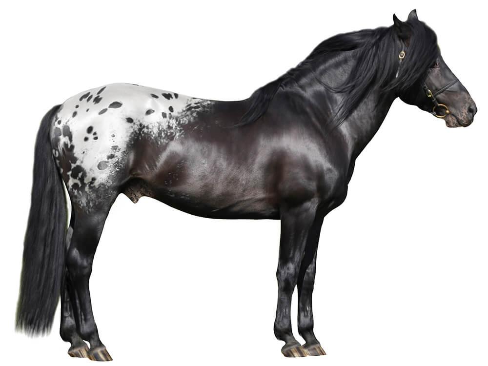 Appaloosa Horse 4