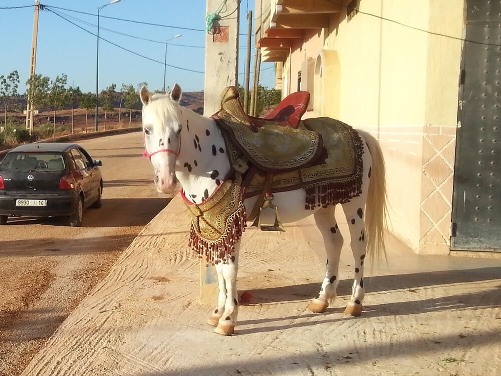 Appaloosa Horse 5