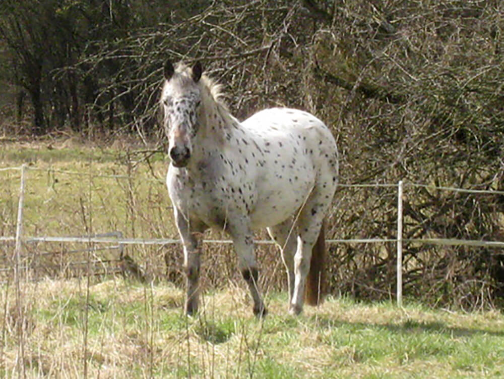 Appaloosa Horse 9