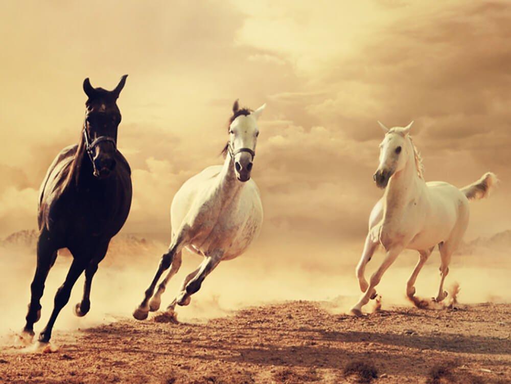 arabian horse 4