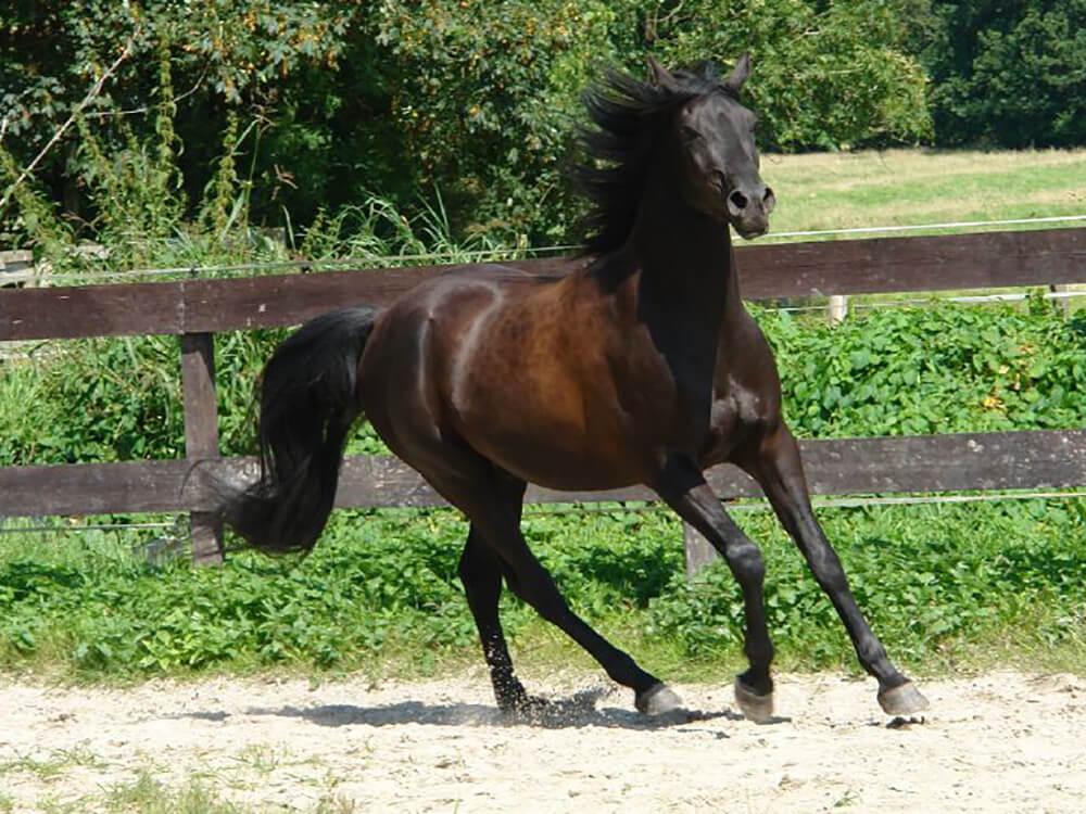 arabian horse 1