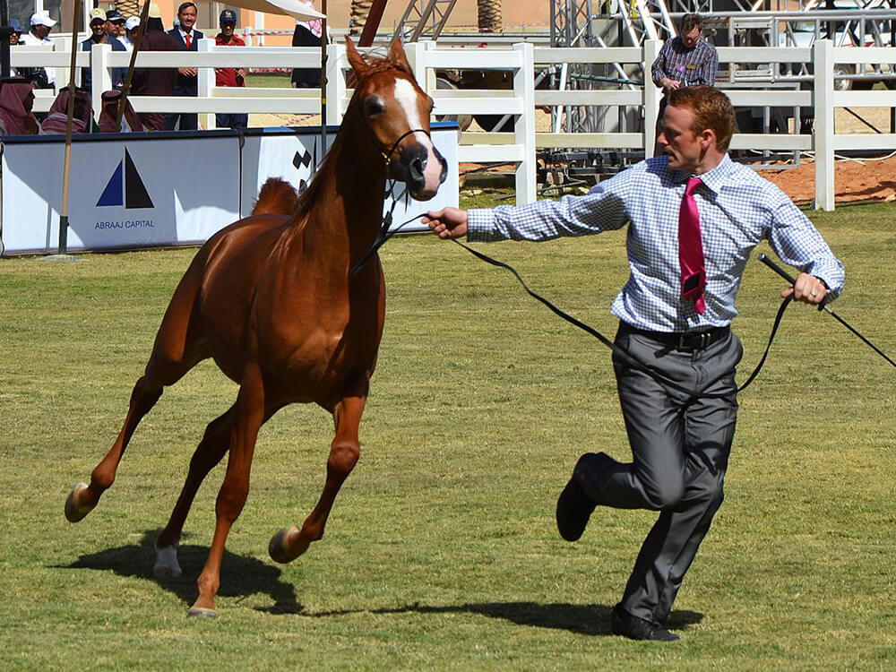 arabian horse 7