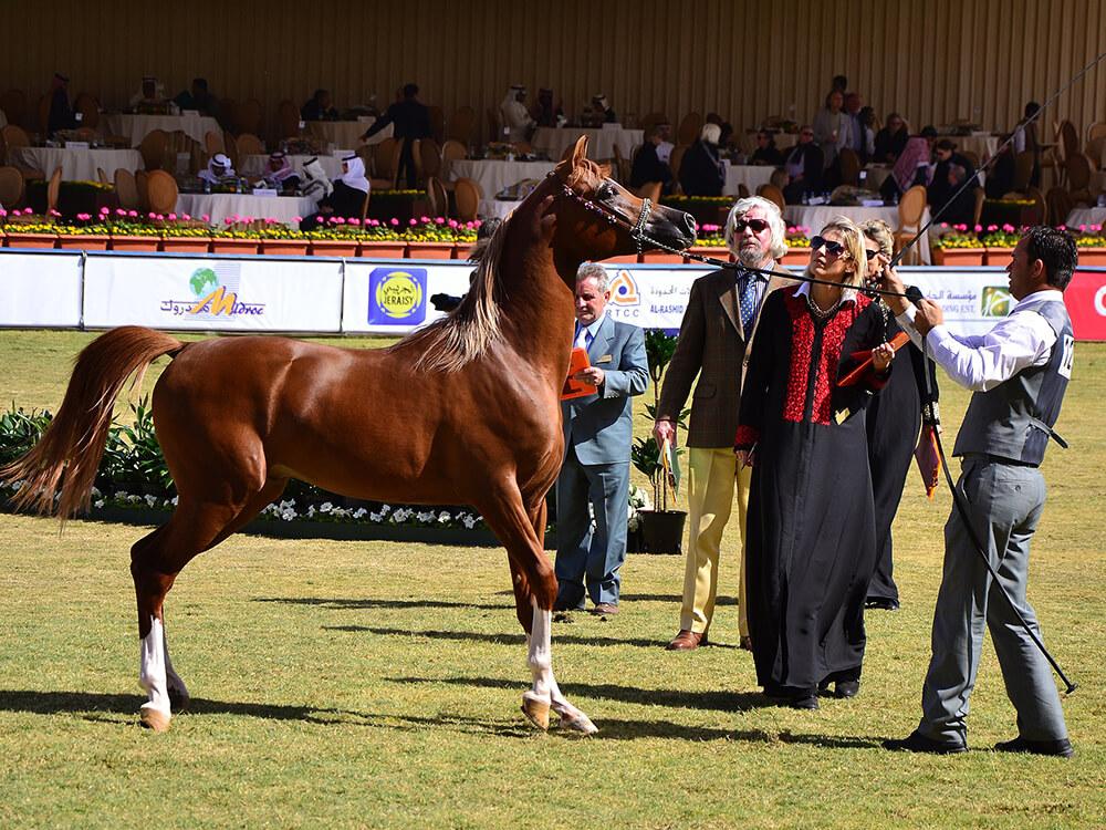arabian horse 8