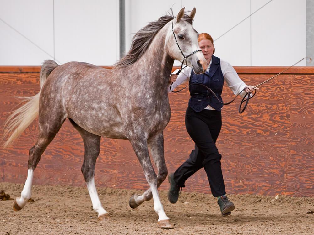 arabian horse 6