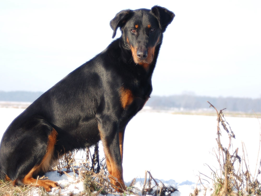 best guard dog 3