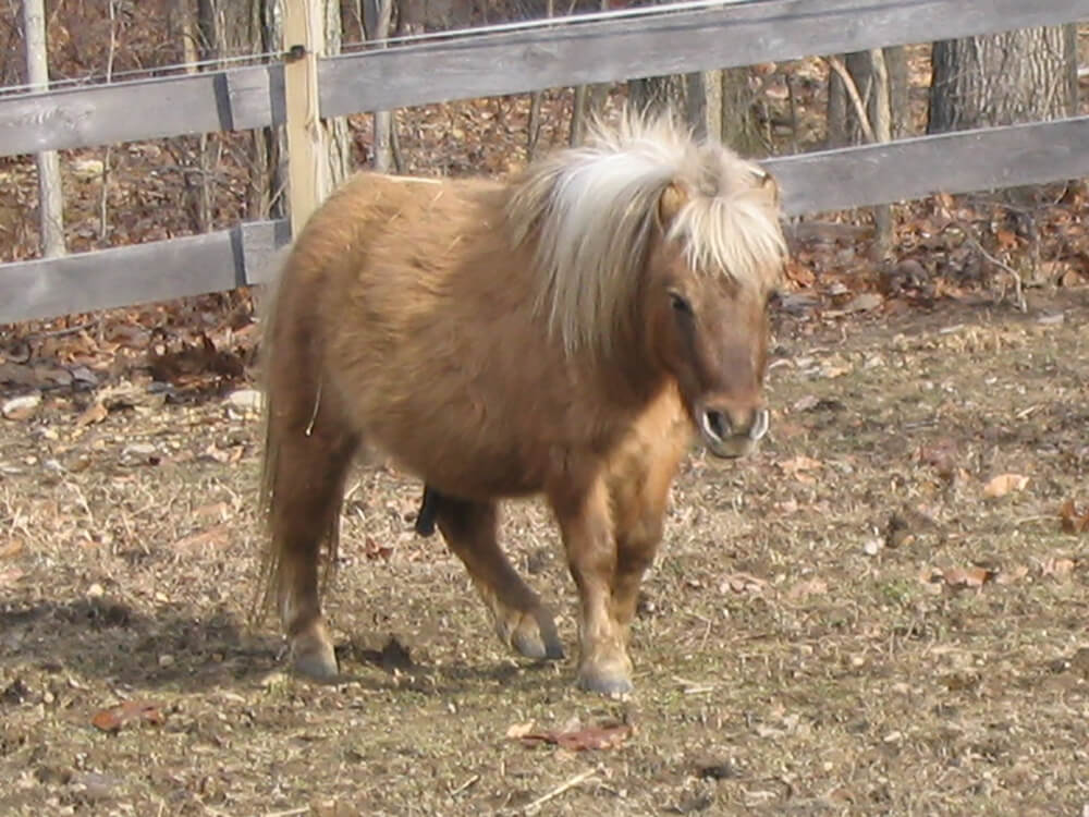 miniature horse 8