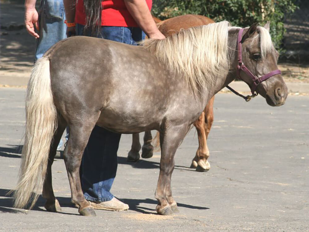 miniature horse 1