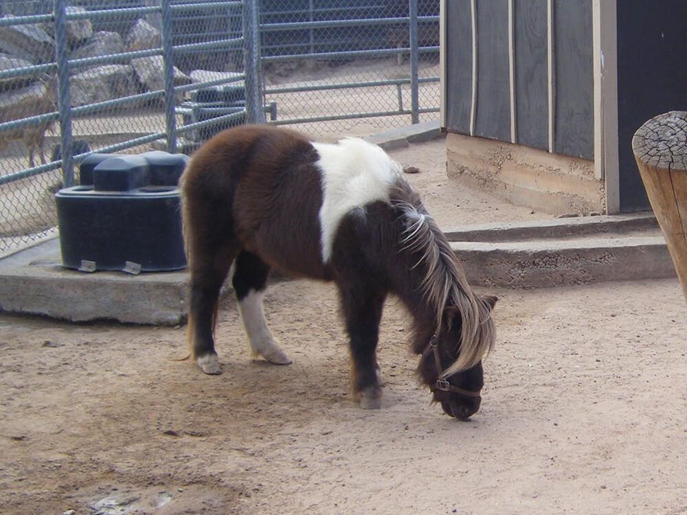 miniature horse 6