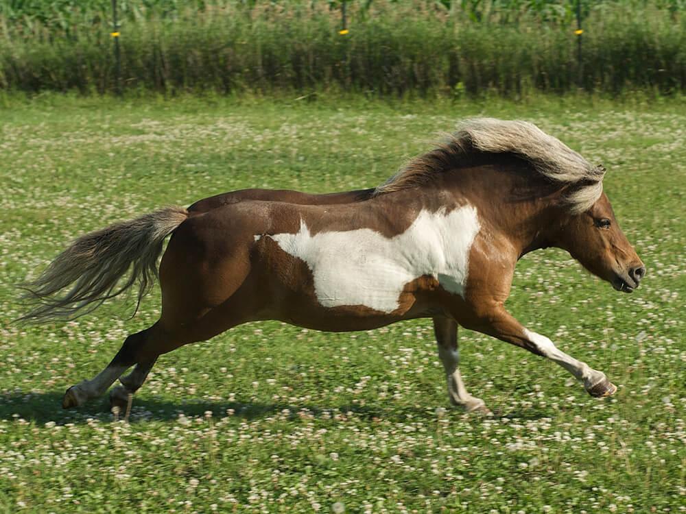 miniature horse 9