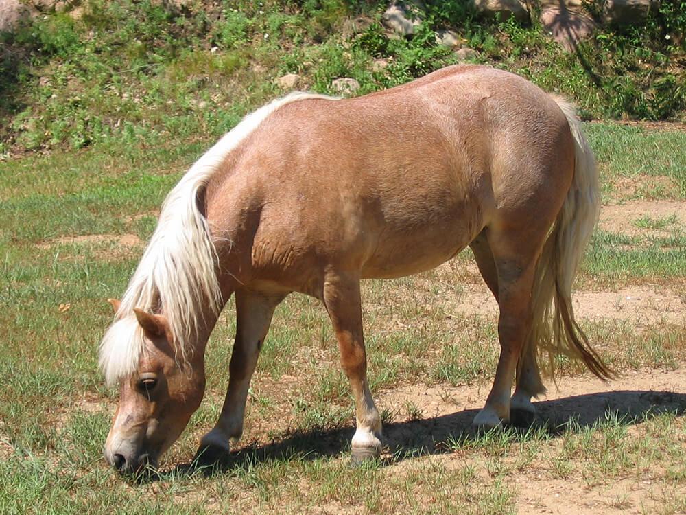 miniature horse 7