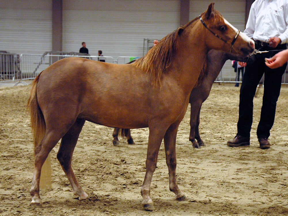 miniature horse 11