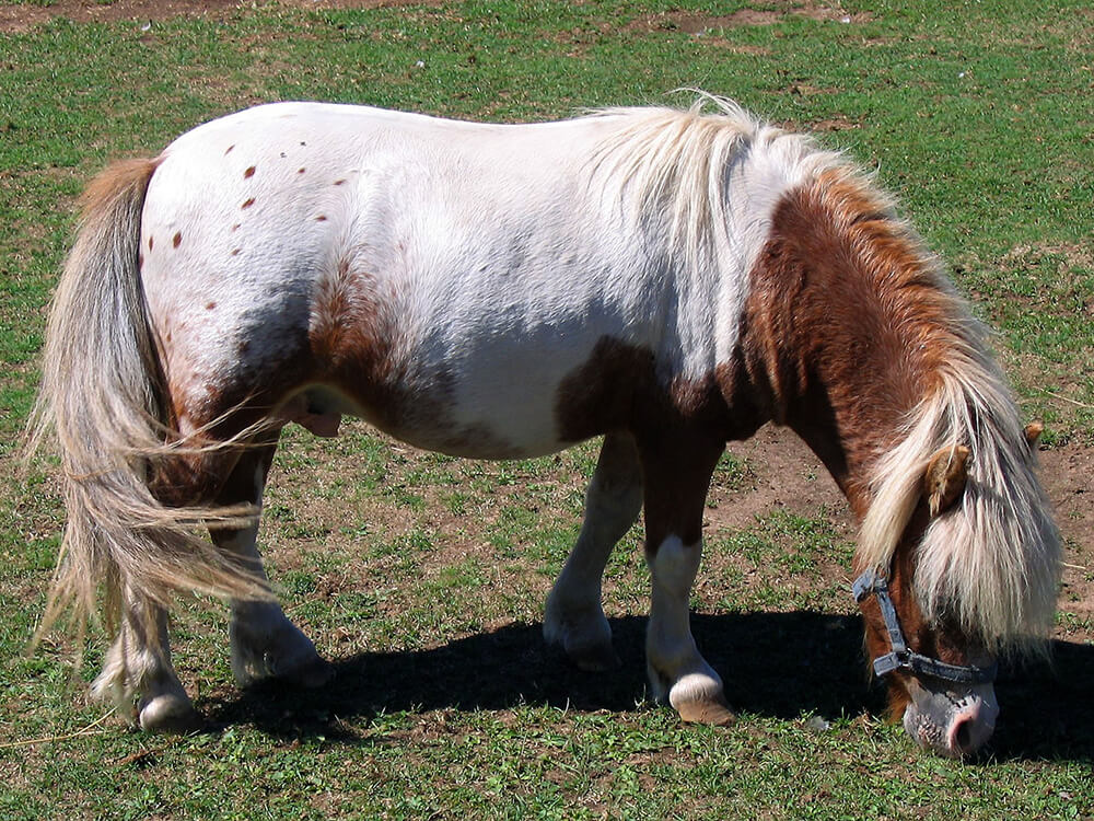 miniature horse 10