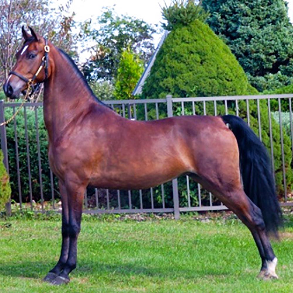 morgan horse 1