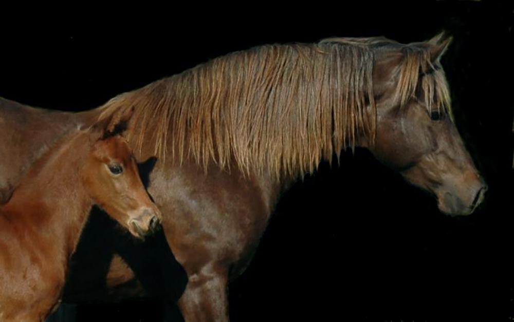 morgan horse 7