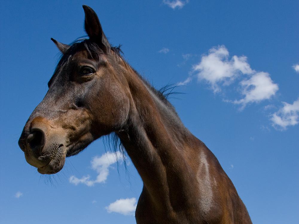 morgan horse 8