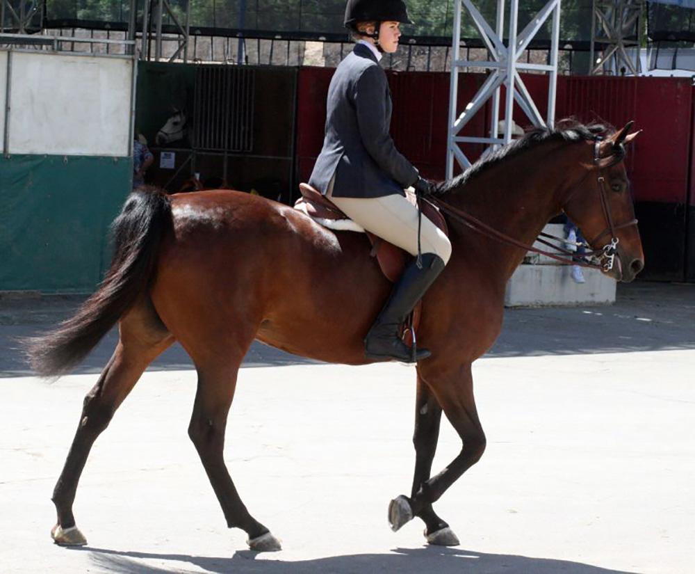 morgan horse 4