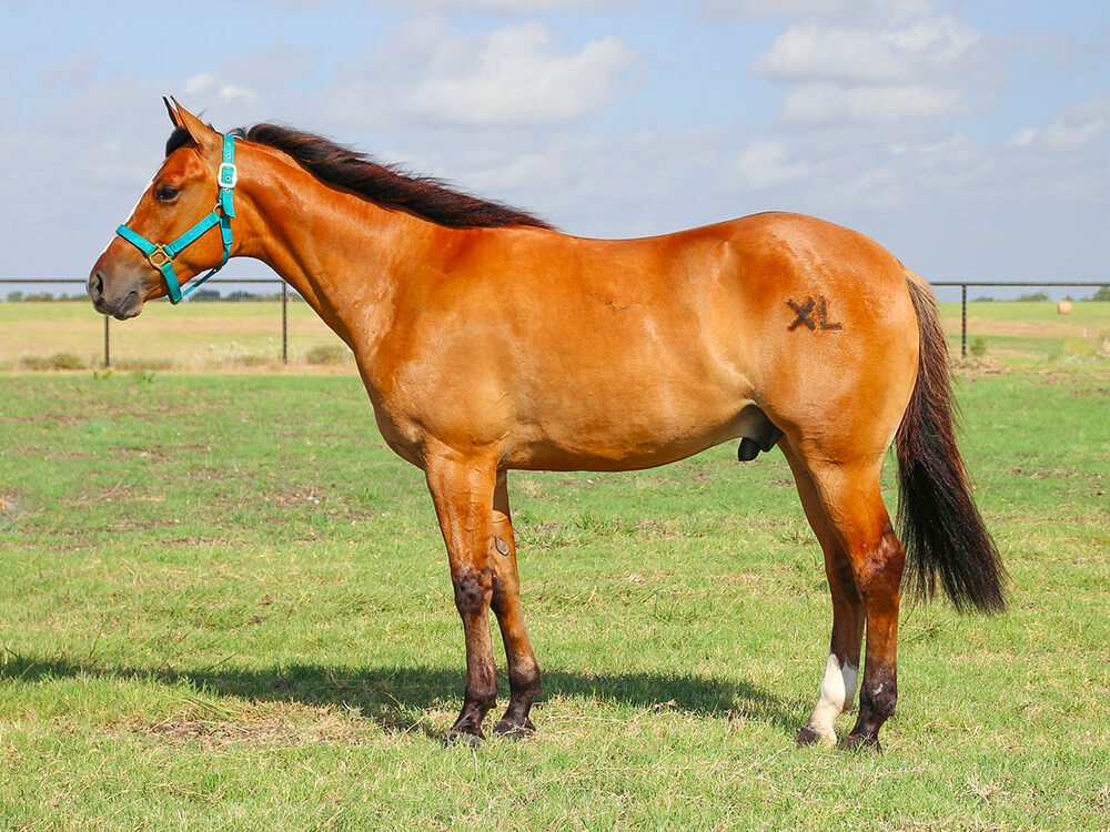 Tennessee American Quarter Horse