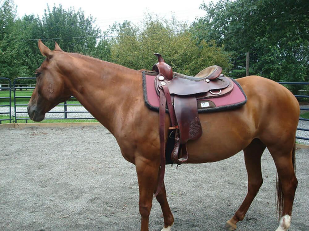 Texas State Horse | American Quarter Horse