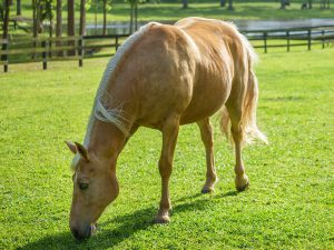 Tennessee Walker Horse Breed Information