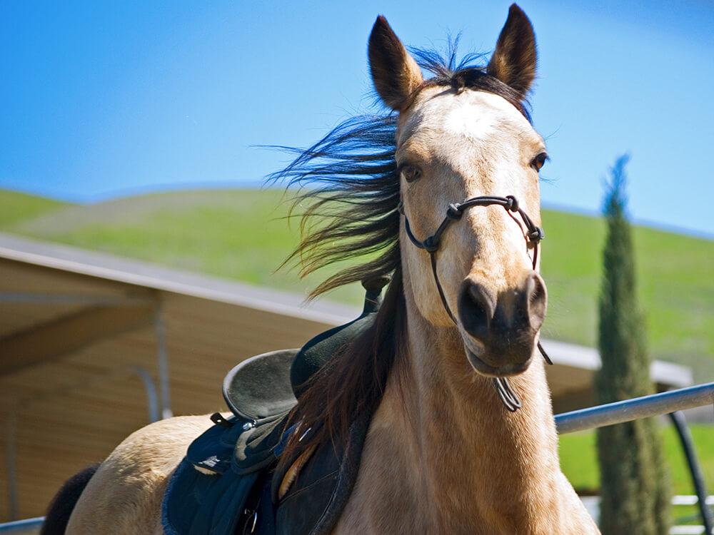tennessee walker horse 1