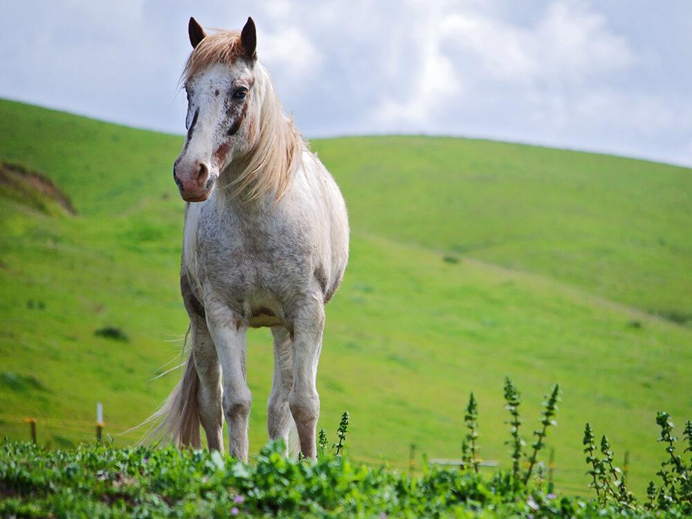 tennessee walker horse 2