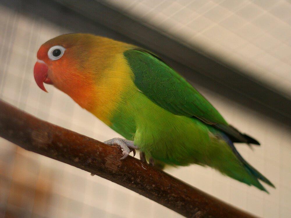 carvela lovebird