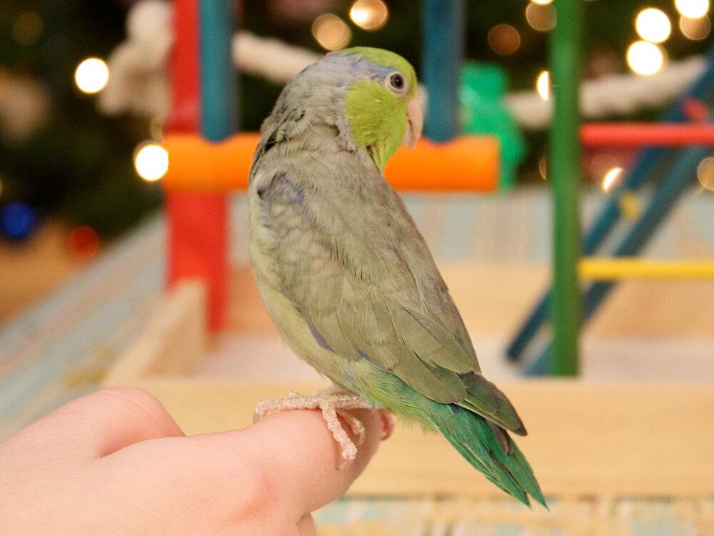celestial parrotlet
