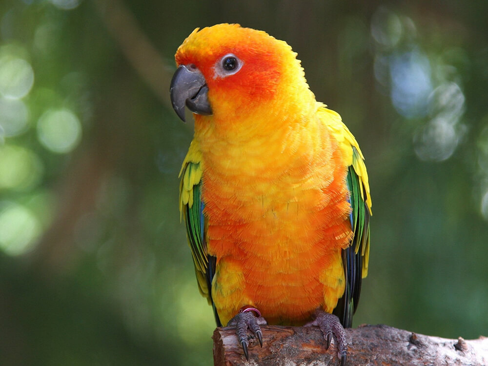 conures as pets