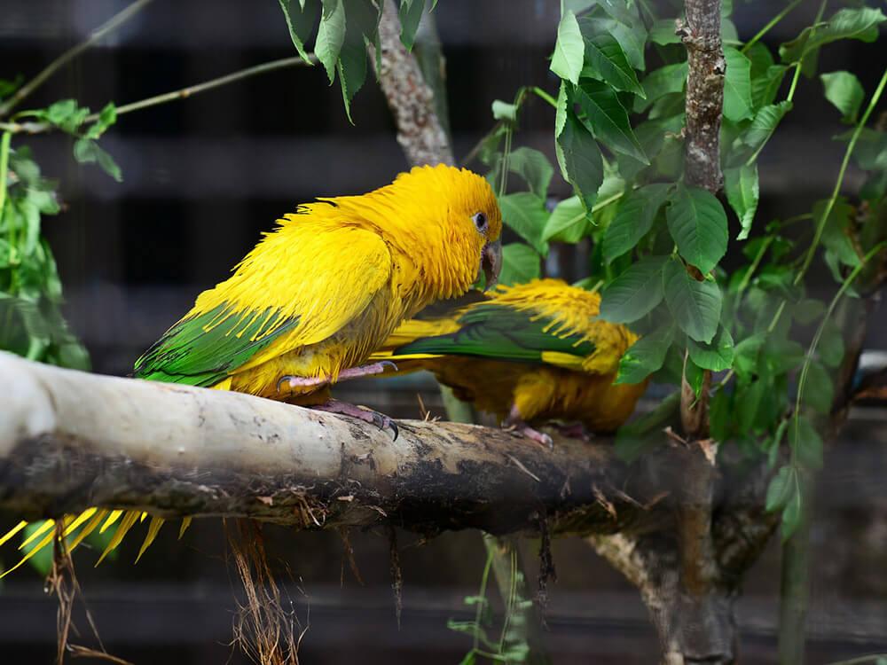 golden-conure
