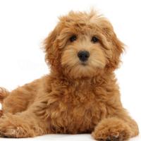 10 Best Poodle Mixes