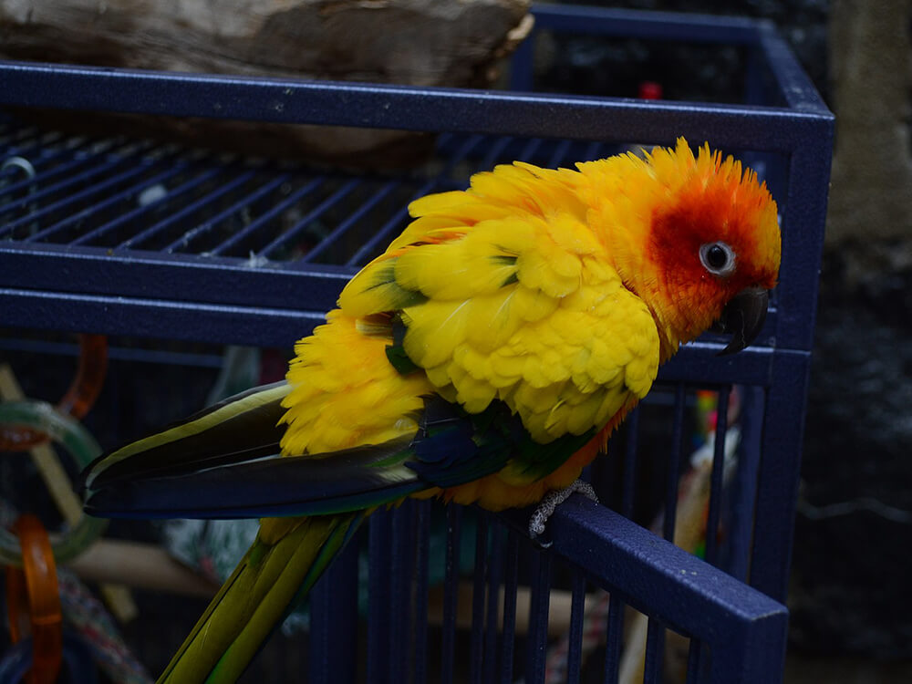 how long conures live
