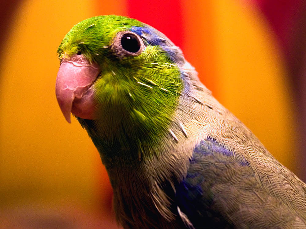 how long does parrotlet live