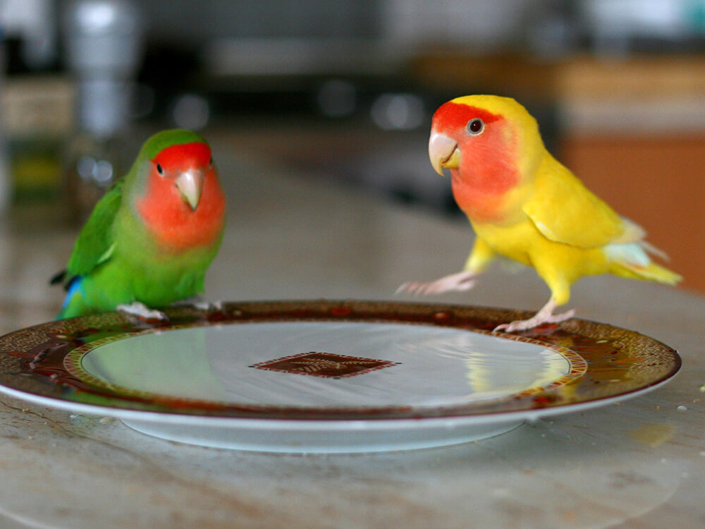 how much do lovebirds cost