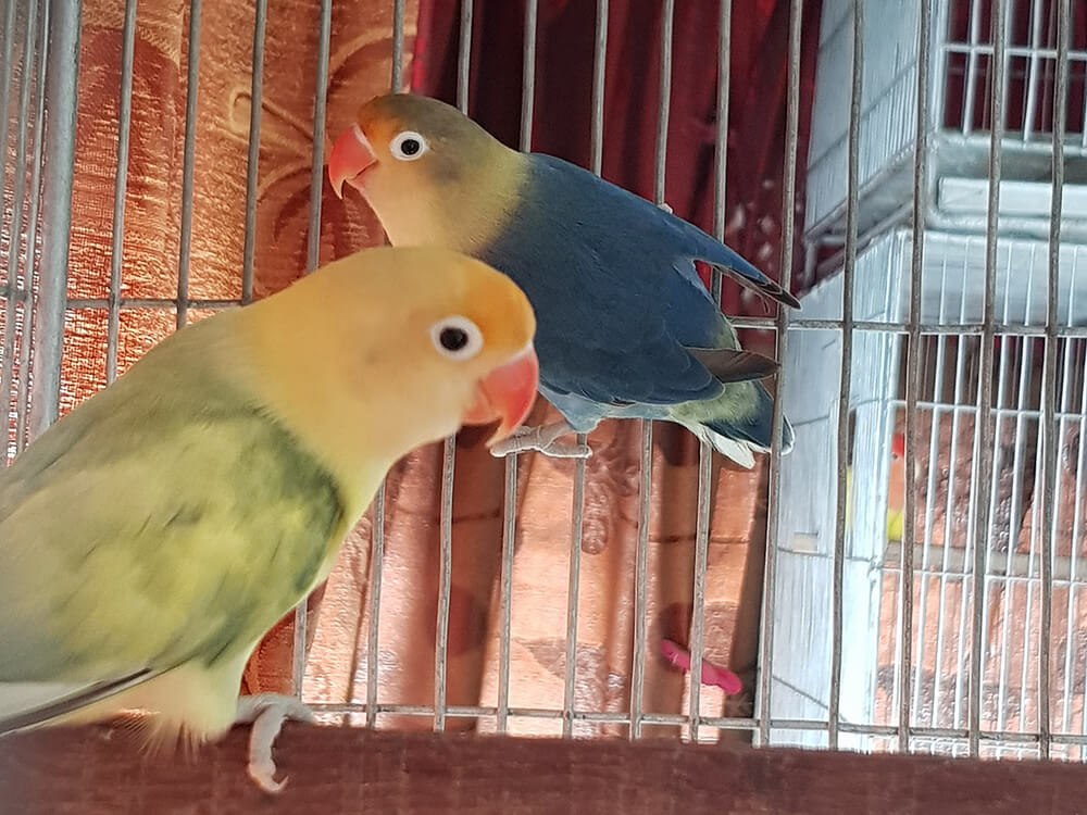 lovebird colours