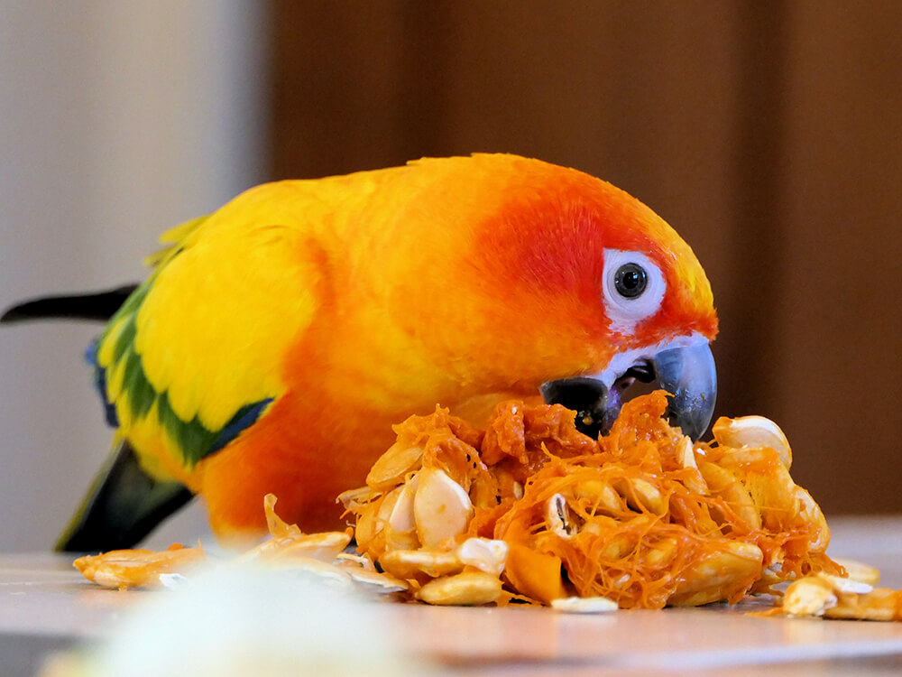 Conure Parrot Breed Information