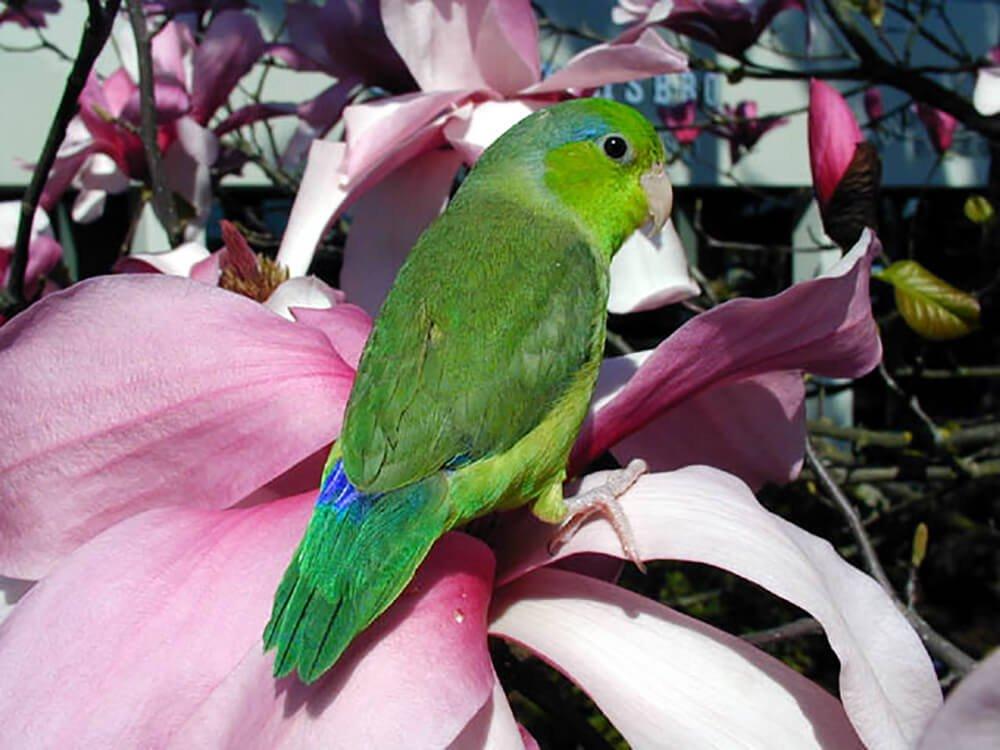 parrotlet forpus