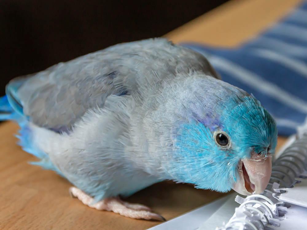 parrotlet lifespan