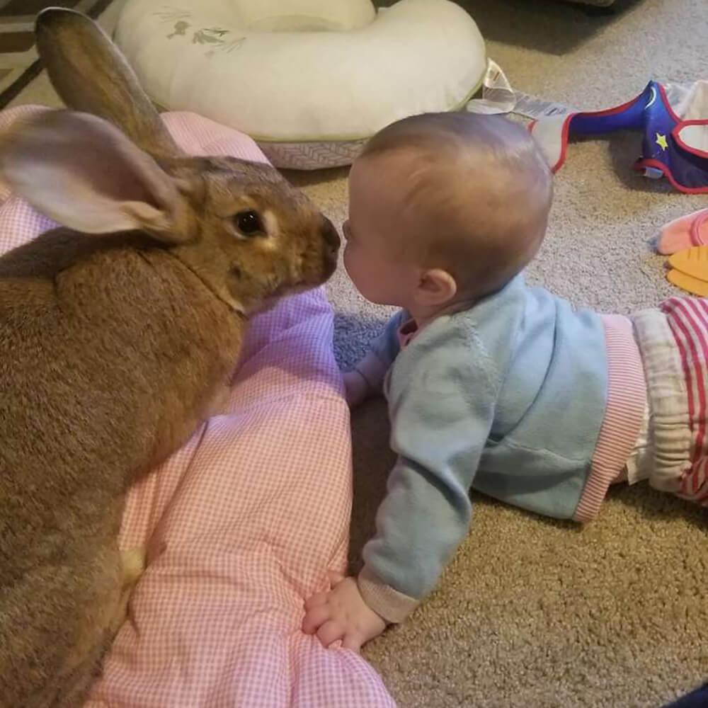 giant rabbit couple 2